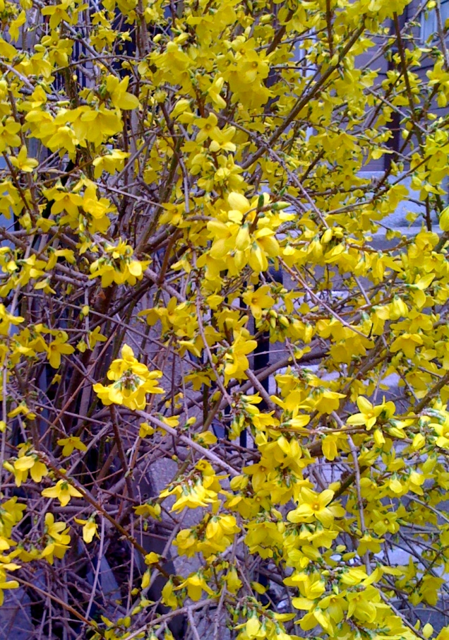 The forsythia are in bloom!