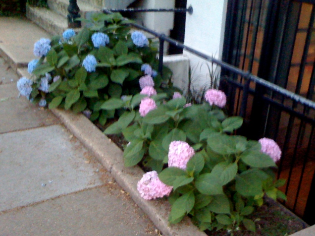 June 19: It takes serious soil control to get such distinctly blue and pink hydrangeas so close together.