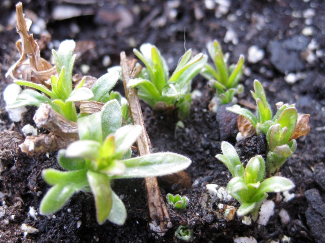 Teeny-tiny sprigs of French tarragon