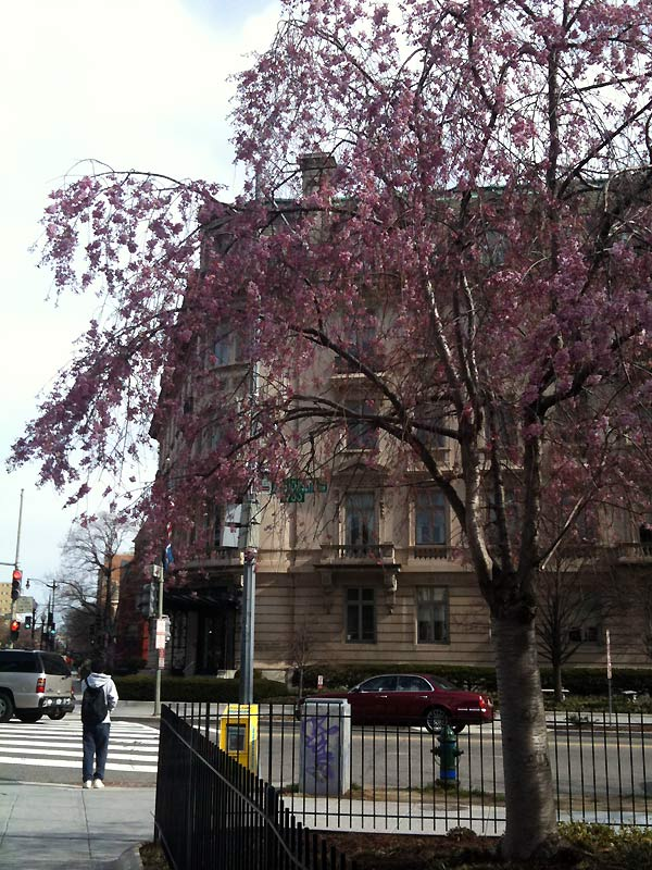 And yet more cherry blossoms - with my office in the background.