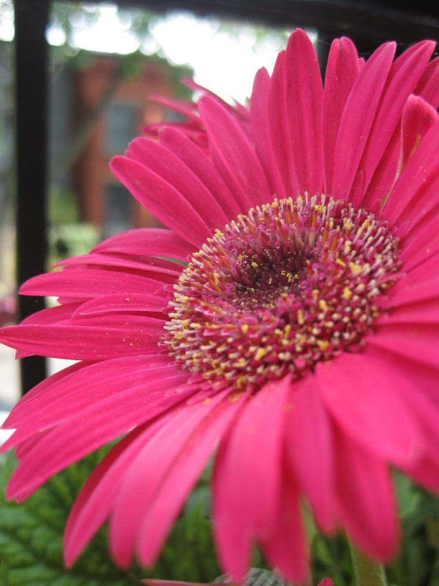 I am rather enthralled by my Gerber Daisy plant this spring.