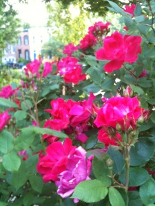 One of the manifestations of my good mood - I am ridiculously delighted by the wild roses in my neighborhood.