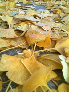 Ginko leaves on the ground.