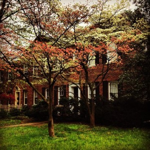 The dogwood trees in the front yard, brightening up a gray day.