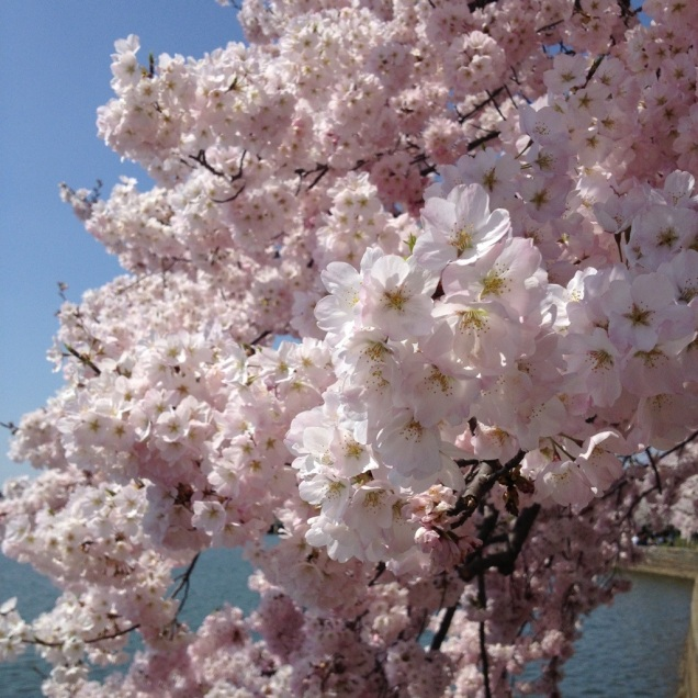 A closeup of the cherry blossoms.